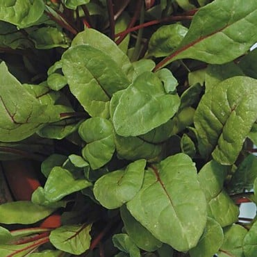 Autumn - Rhubarb Chard (10 Plants) Organic