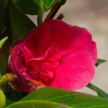 Camellia Dona Herzilia de Freitas Margalhaes