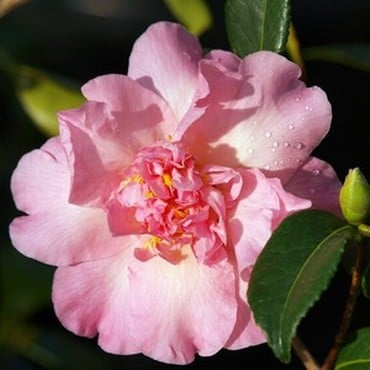 Camellia Japonica Mary Phoebe Taylor