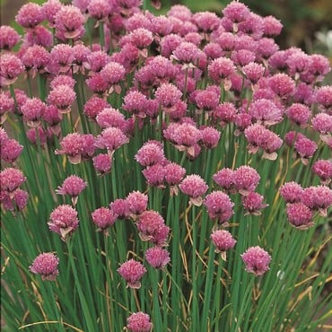 Chives (3 Plants) Organic