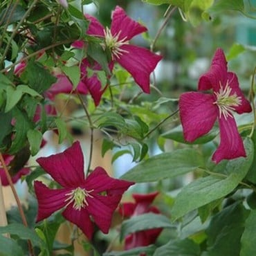 Clematis Viticella 'Madame Julia Correvon' by Peter Beales