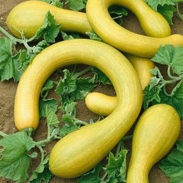 Courgette - Tromboncino Albenga (5 plants) Organic