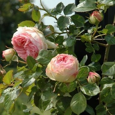 Eden Rose - Climbing Rose by Peter Beales