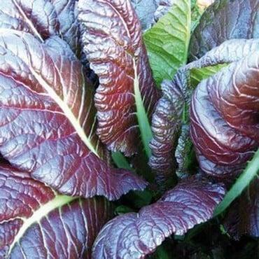 Giant Red Mustard (10 Plants) Organic
