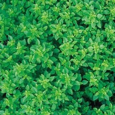 Greek Basil (3 Plants) Organic