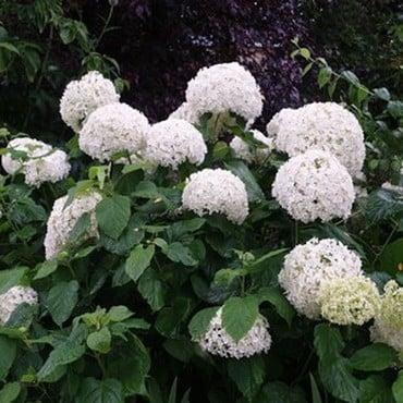 Hydrangea arborescens Annabelle