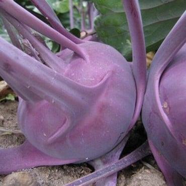 Kohl Rabi Delicacy Purple (10 Plants) Organic