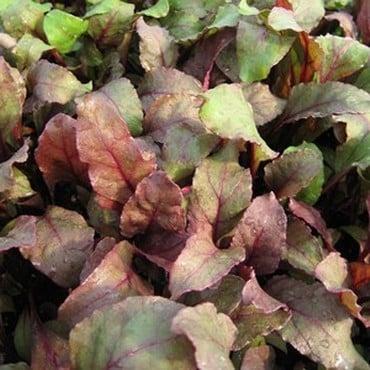 Leaf Beet Bulls Blood (10 Plants) Organic