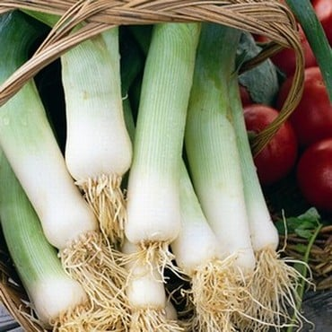 Leeks Musselborough (20 Plants) Organic