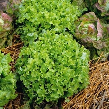Lettuce Green Salad Bowl (10 Plants) Organic