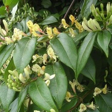 Lonicera henryi - Honeysuckle