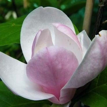 Magnolia soulangeana Lennei