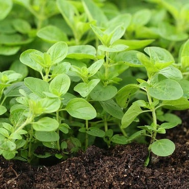 Oregano - Greek (3 Plants) Organic