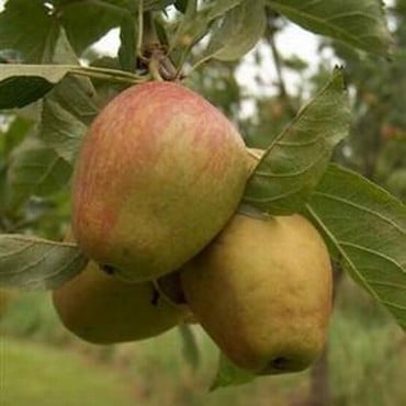 Organic Adam's Pearmain Dessert Apple - Semi Dwarf