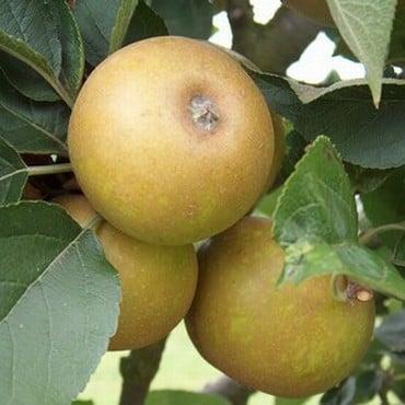 Organic Ashmeads Kernel Dessert Apple Tree Semi Dwarf