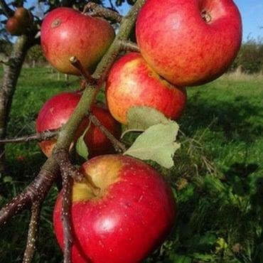 Organic Bountiful Apple Trees