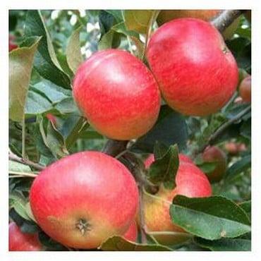 Organic Discovery Apple Tree