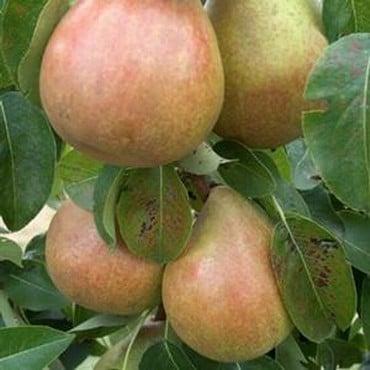 Organic Doyenne du Comice Pear Trees