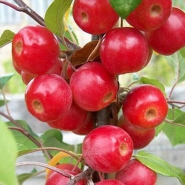 Organic Gorgeous Crab Apple Trees
