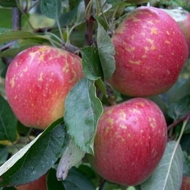 Organic Kidd's Orange Red Apple Trees