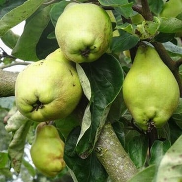 Organic Lescovaka Quince Tree
