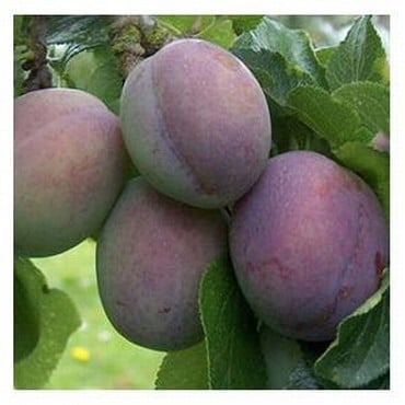 Organic Marjories Seedling Plum Trees