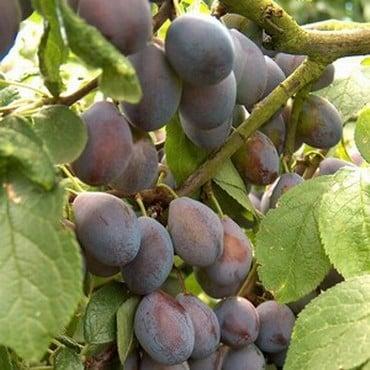 Organic Shropshire Prune