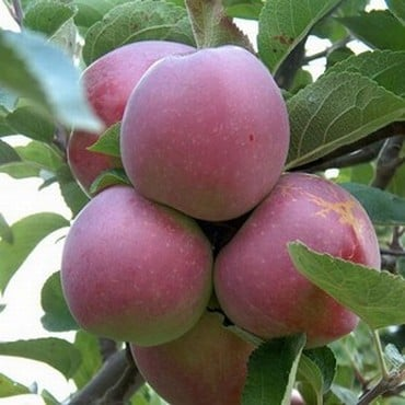 Organic Spartan Apple Trees