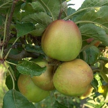 Organic Sturmer Pippin Apple Trees