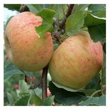 Organic Sunset Apple Trees