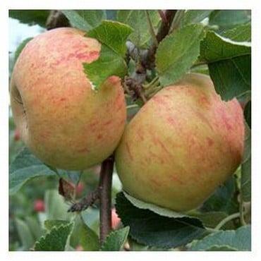 Organic Sunset Apple Trees