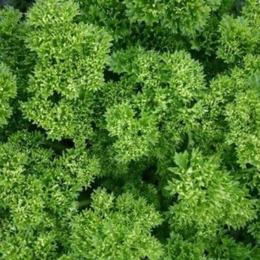 Parsley Curly (3 Plants) Organic