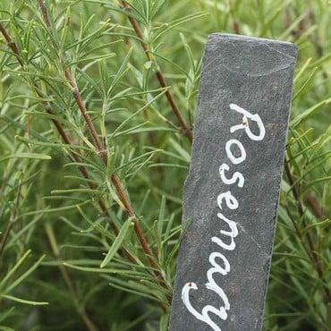 Rosemary (3 Plants) Organic