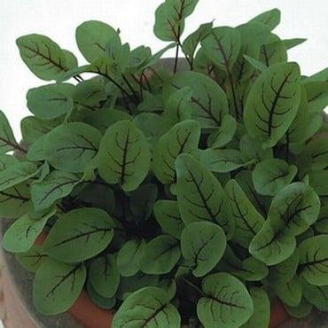 Sorrel Red Veined Sorrel (10 Plants) Organic