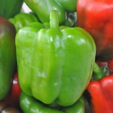 Sweet Pepper Californian Wonder (3 Plants) Organic