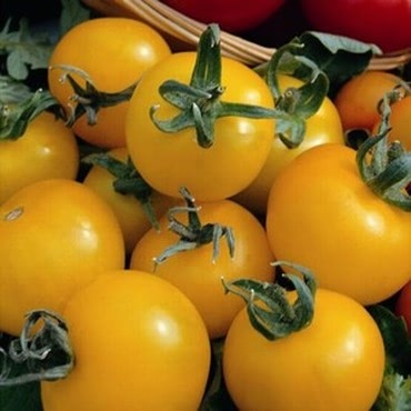 Tomato Golden Sunrise (5 Plants) Organic