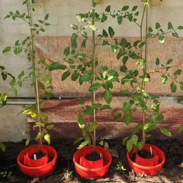 Tomato Plant Halos