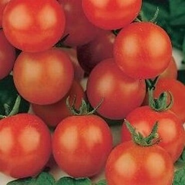 Tomato Tiny Tim (5 Plants) Organic