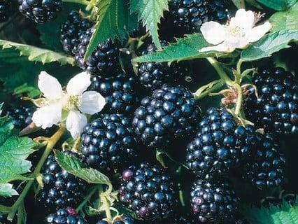 Blackberries & Hybrids