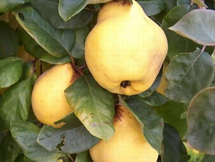 Pear & Quince Trees