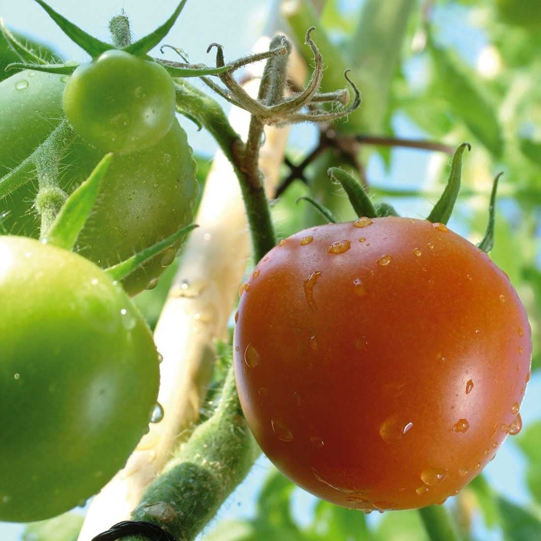 Tomatoes & Peppers