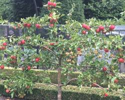 Espalier-Apples-270917
