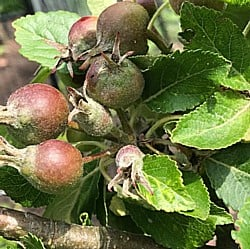 Apples-Forming-070619