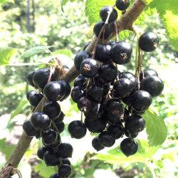 Blackcurrants 150716