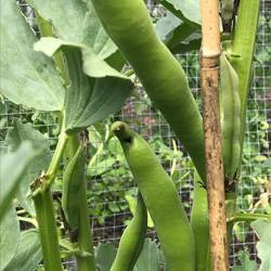 Broad-Beans-070619