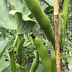 Broad-Beans-290719