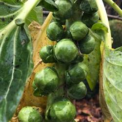 Brussels-Sprouts-091219