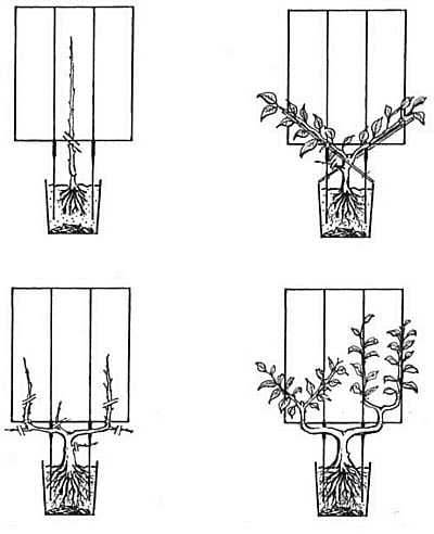 Black Fruit Tree Espalier Frame Harrod Horticultural