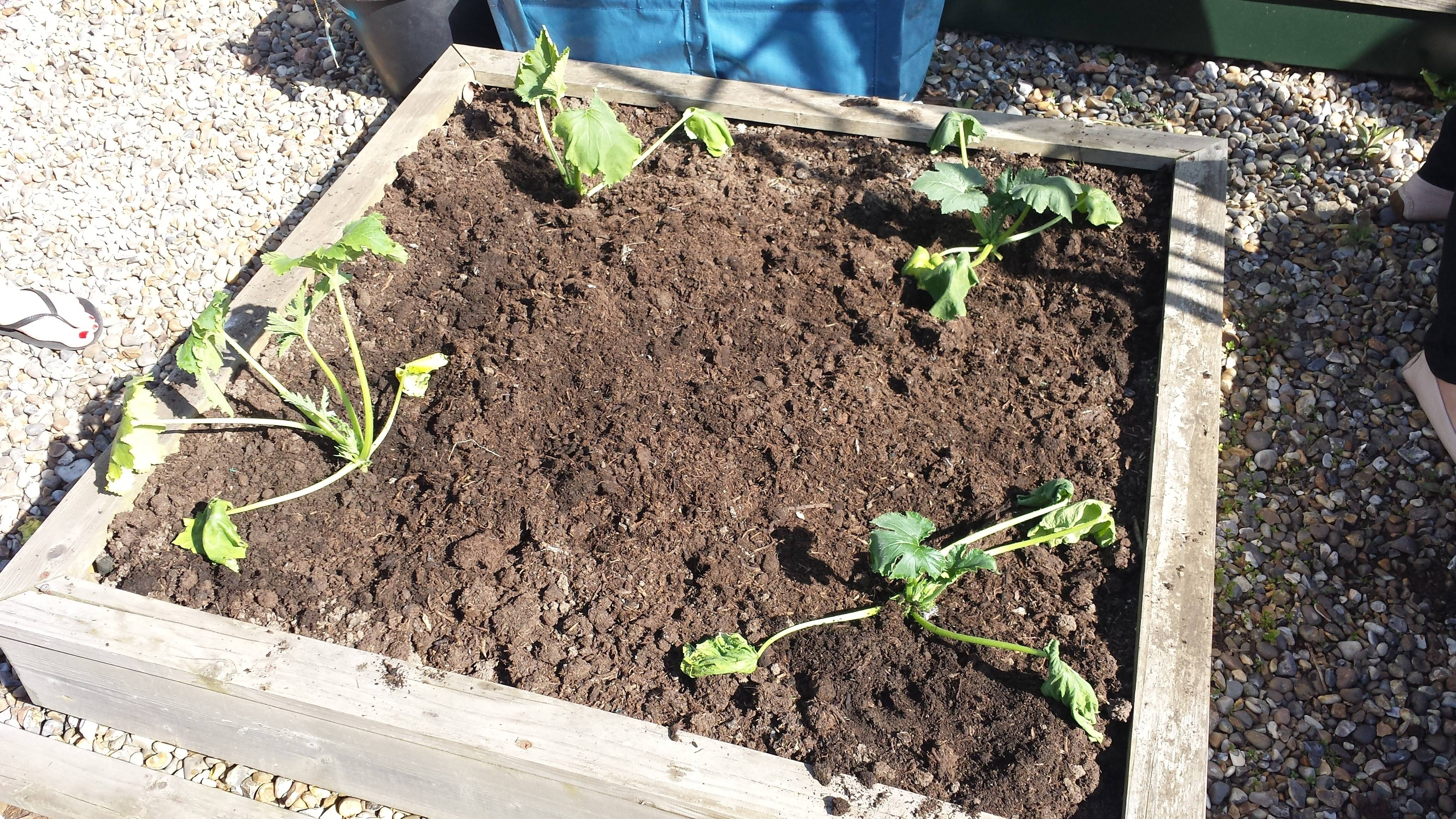 Courgettes Raised Beds 1