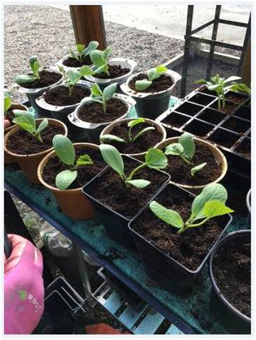 Courgettes Potting On 2
